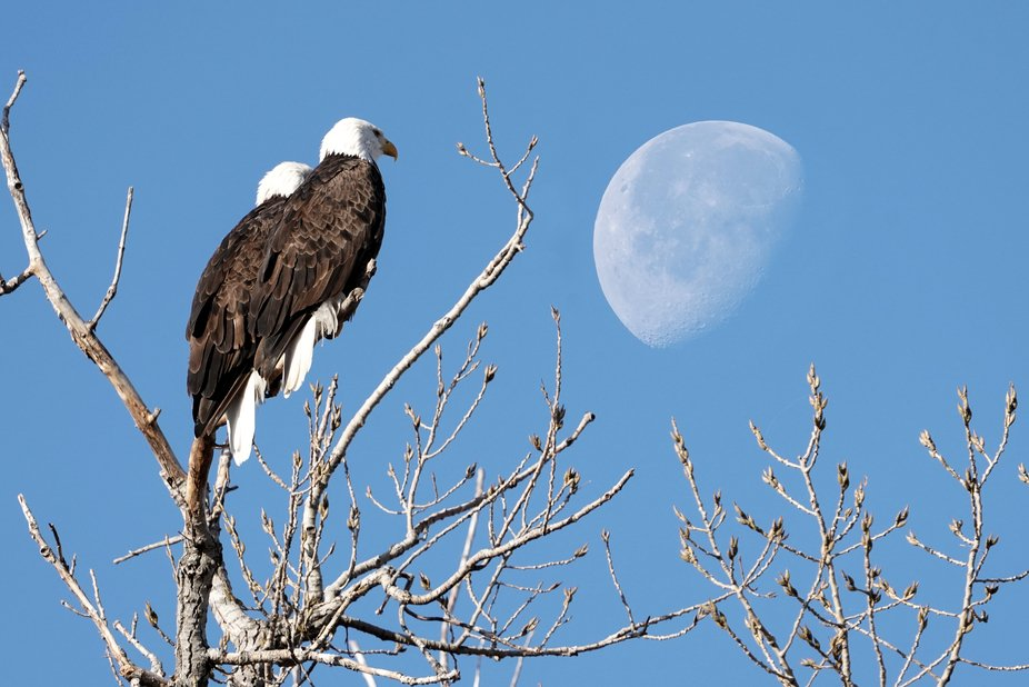 I had to walk an additional 25 feet to line up the moon with these two Bald Eagles. Sometimes jus...