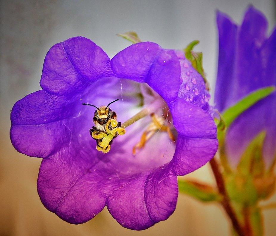 Blattschneidebiene beim schlafen