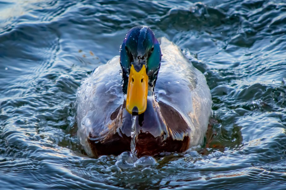 Taken in the  Bronte Outer Harbour Marina in the winter, this Mallard duck was enjoying the cool ...