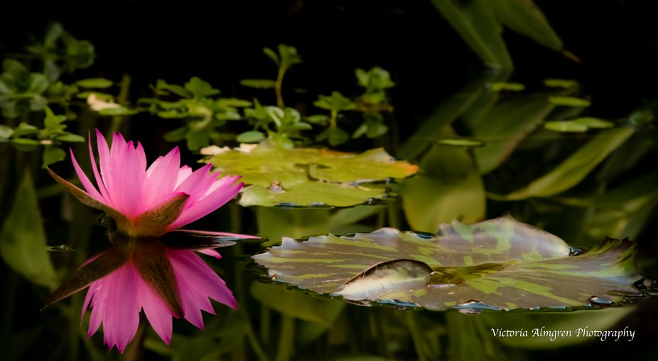 Beautiful Pink Water Lily and Lily Pad in pond with full reflection of flower.