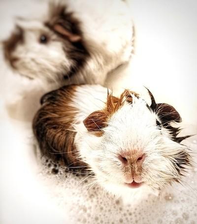 Guinea bath!