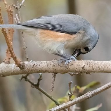 This little Titmouse was eagerly feeding on seeds while hiding in the winter Forsythia.   _DSC8671-DeNoiseAI-denoise