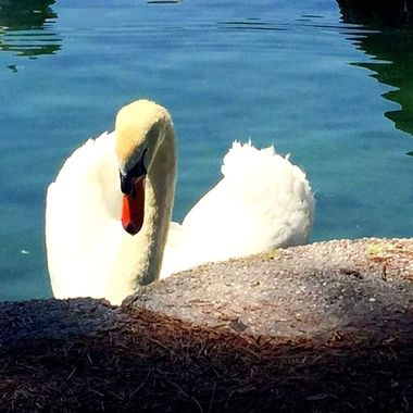 This is a photo my field photographer Lenore S. shot up close to a swan in Florida. Beautiful!