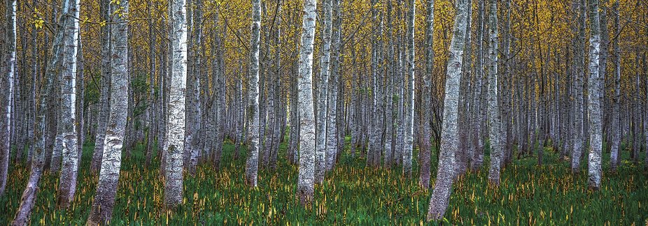 Shot late in the day after a light rain in the springtime.  Aspen can live up to 150 years but th...