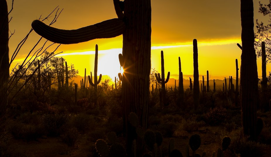 This is a panorama of Saguaro taken with sunset in Saguaro National Park, Tucson, Arizona, USA.  ...