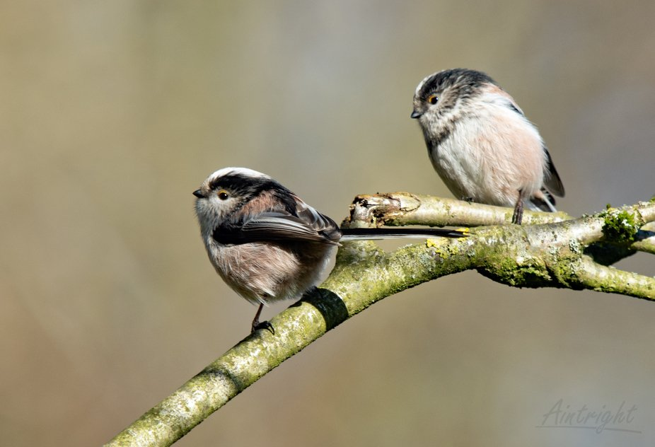 Long-tailed Tit #13