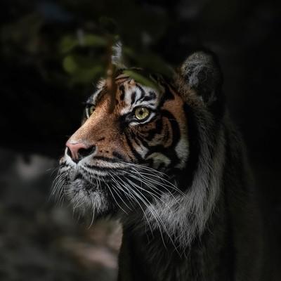 «Tiger» —-#tiger #tigerphotography #animal #animals #animals_in