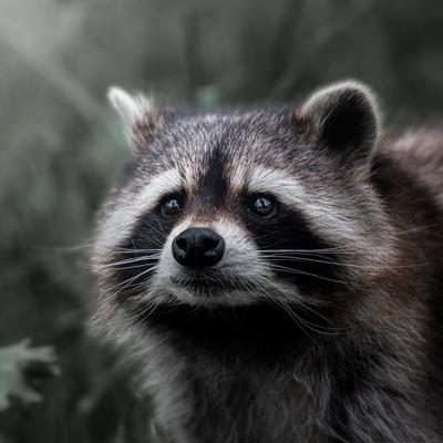 «The Raccoon»—- #raccoon #raccoons #ratonlaveur #ratonlaveurs #