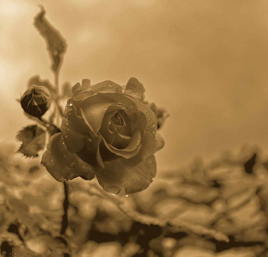 Edited Roses