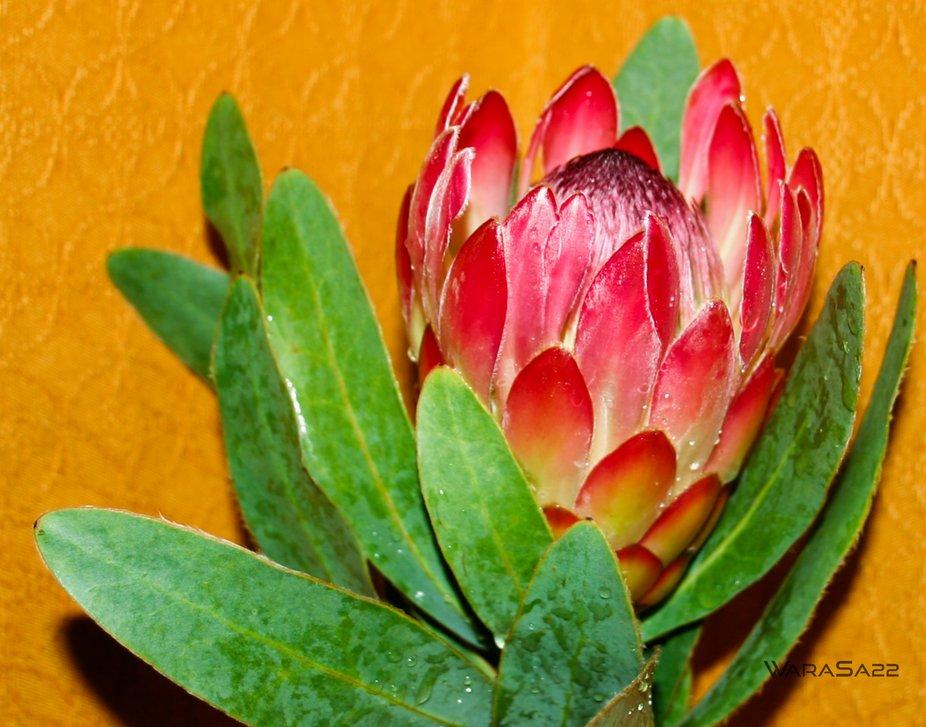 Home grown protea