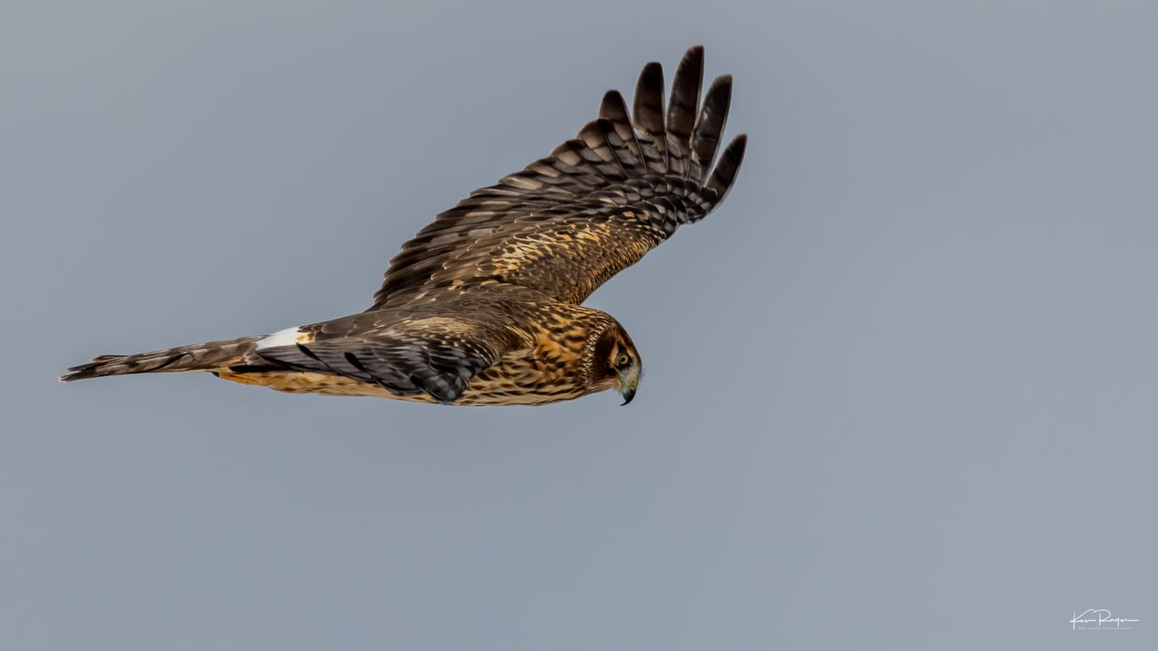 This is the same Harrier involved in the goose incident, previously up loaded  Adult female