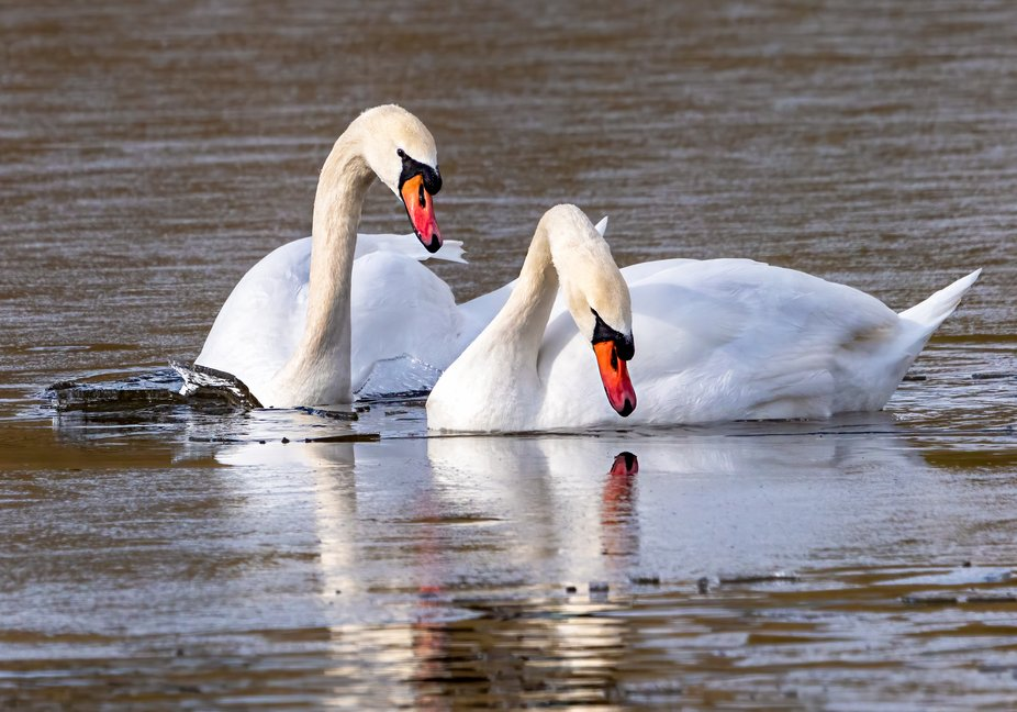 Mute Swans in Ice Water