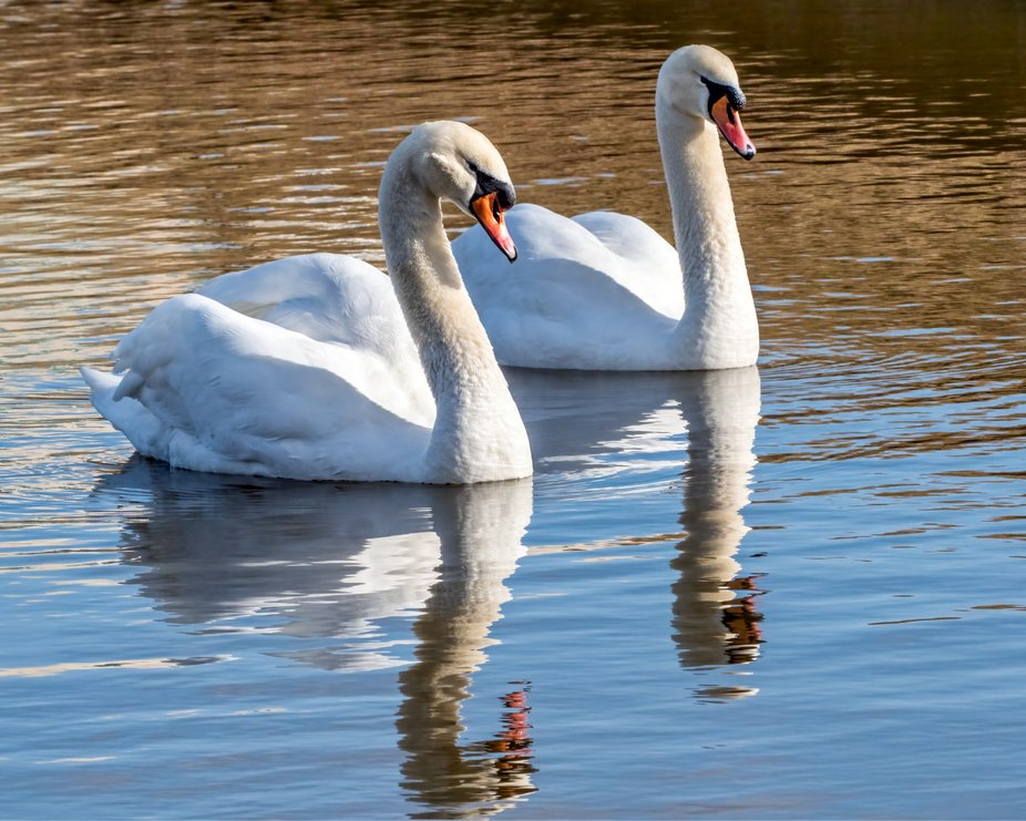 Mated Mute Swans
