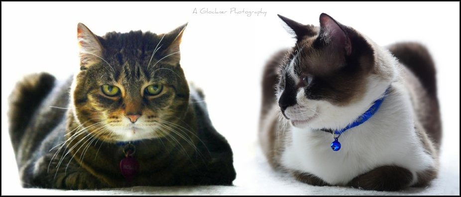 We recently lost our handsome Beau (the cat onthe right) to congestive heart failure. This is a c...