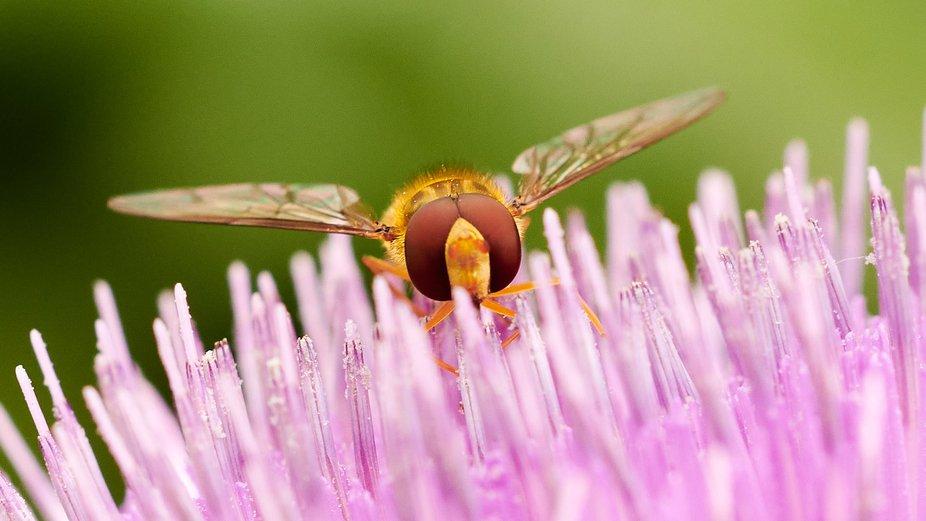 Hoverfly on flowering artichoke