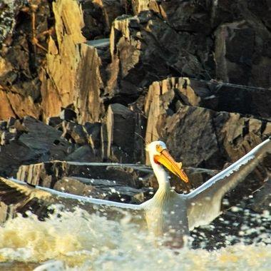 Pelican at Rapid River, Clementson, Minnesota