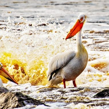 This pelican posed as it set down on a rock to dry off after fishing the rapids.