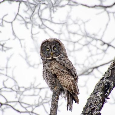 Grey Grey Owl I captured on a frosty morning