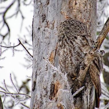 Great Grey Owl blending in with it's environment or maybe just playing if I can't see you, you can't see me!