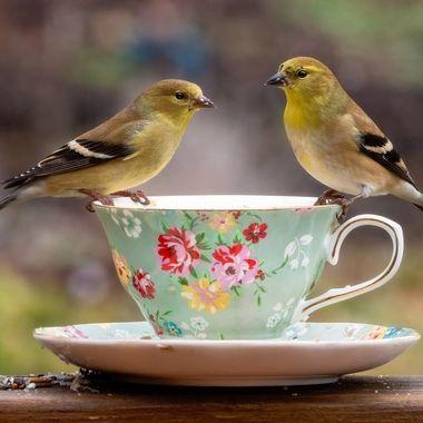 Goldfinch Tea Party