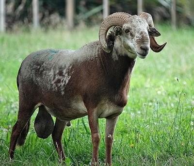 Damara Ram