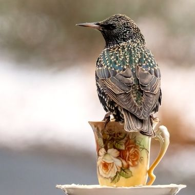 Silly Starling!