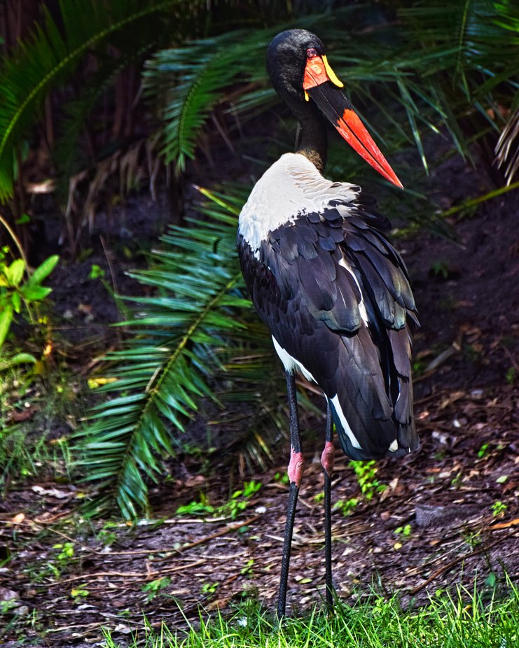 Saddle Billed Stork, taken at Disney Animal Kingdom Park.