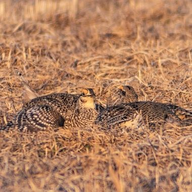 Two male Sharptailed Grouse eyeing their opponent before a brief battle