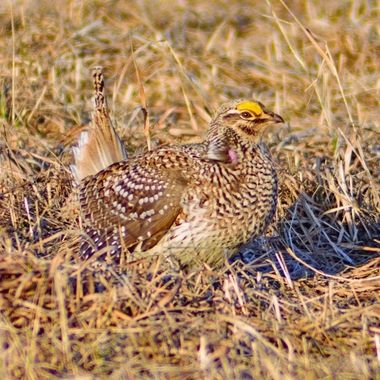 Close up of a Sharptail Grouse in mating season, while dancing they uncover the purple plumage on their neck