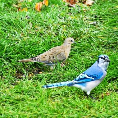 Most of the time Blue Jays will chase off the other birds but this one didn't seem to mind sharing with this Morning Dove