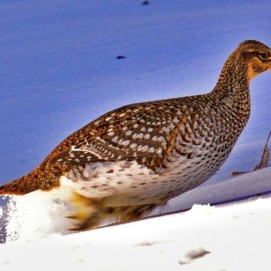 Sharptail grouse digging thru the snow for food