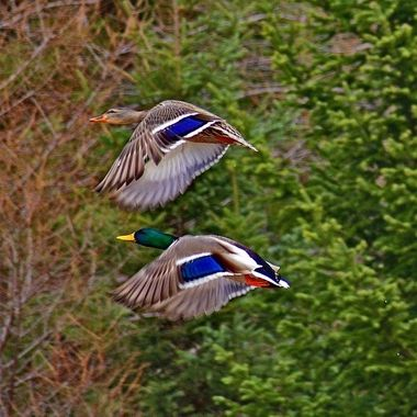This pair of mallard ducks seemed to fly in unison with each other's wing beats