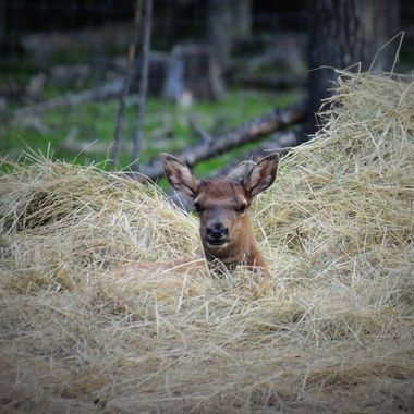 This young elk calf seems to have found a safe place