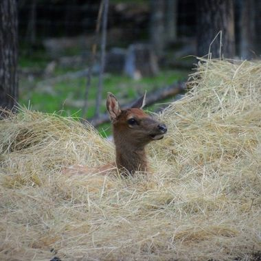 This elk calf found that the hay was a safe and comfy spot to hide