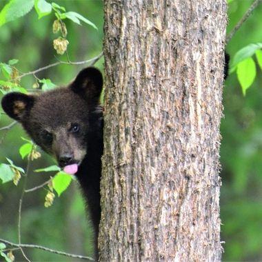 Black bear cub playing peekaboo and teasing too!