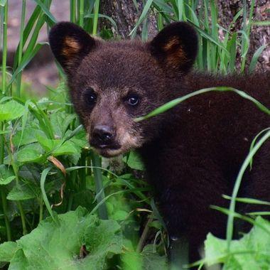Little black bear cub a little to curious