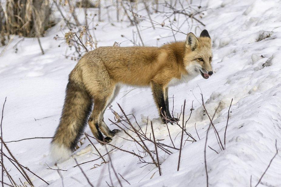 Winter_Fox_3498