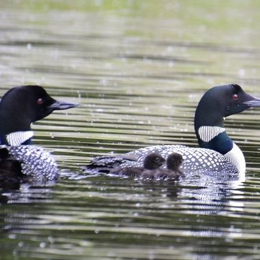 Loon family out for a morning swim