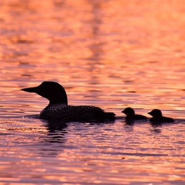 Loon family out for an evening swim