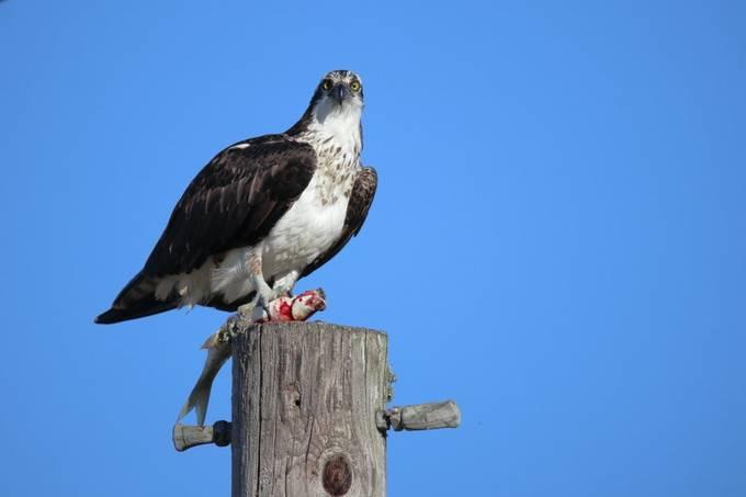 Feeding Osprey