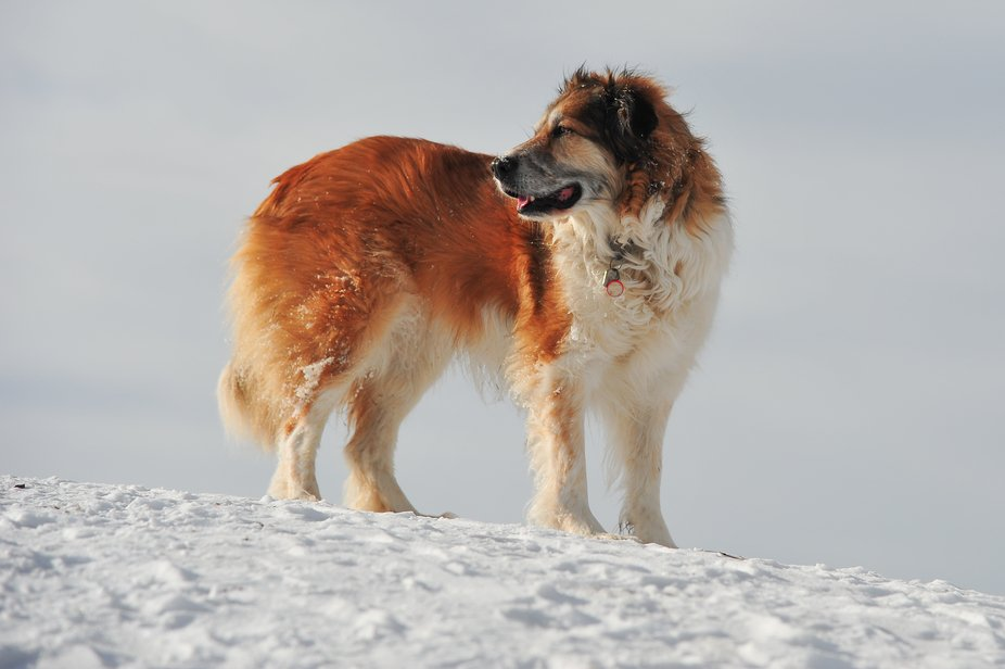 Pyrenees border collie cross bathed in sunlight of winter