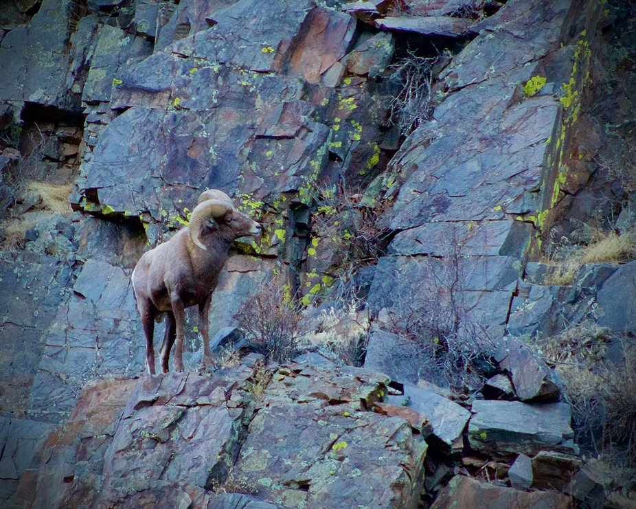 A Large Horn Sheep in Big Thompson Canyon in Colorado.