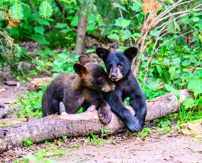 Black bear cubs posing for me