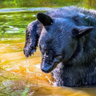 This good sized black bear was looking for some relief from the biting flies, splashing in the creek and wiping it's head with it's paw. You can tell it was not happy by it's wrinkled nose