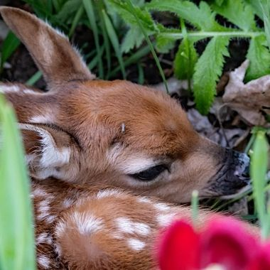 Whitetail fawn found hiding in flower bed. Mom was not far away