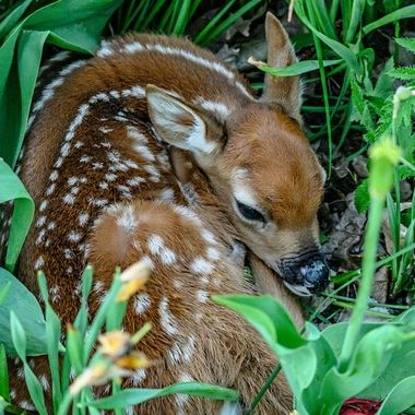 A very young whitetail fawn found a safe place to wait for mom