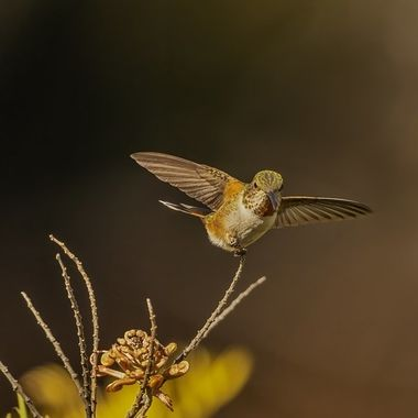 Allen's Hummingbird DSC09867