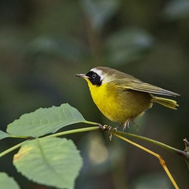 Common Yellowthroat DSC00245