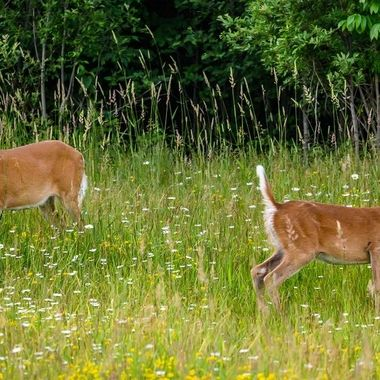 A pair of whitetail does feeding