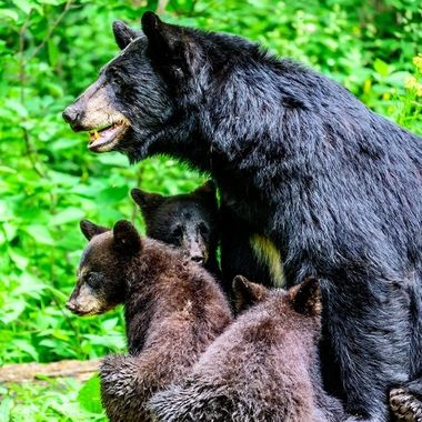 Getting close to mom as another bear approaches
